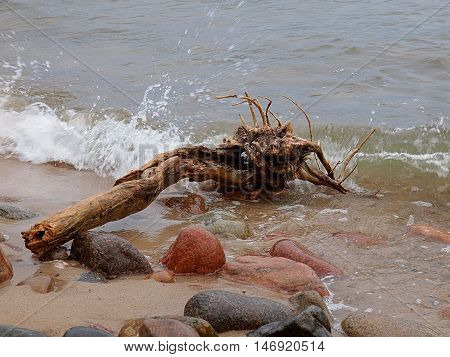 Baltic climates. Snag ejected from the Baltic Sea and rocks on the coast in Rozewie.