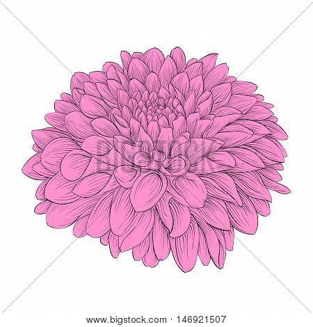 Beautiful flower Dahlia isolated on background. Hand-drawn contour lines and strokes.