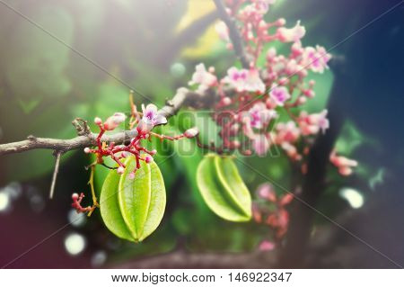 Star Apple Fruit Hanging With Flower On The Tree With Light Effect