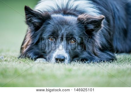 Border Collie Dog Starring At The Camera.