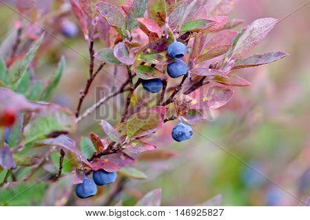 Ripe wild blueberries in bushes. Cascade Mountains. Mount Baker National Forest. Seattle. Washington. USA