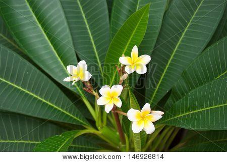 White With Yellow Center Frangipani Flower Closeup