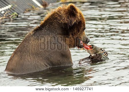 Brown bear eating a salmon caught in Kurile Lake. Southern Kamchatka Wildlife Refuge in Russia.