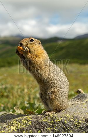 Arctic ground squirrel at the foot of volcano on Kamchatka.