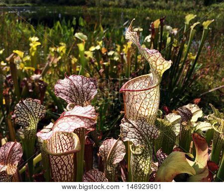 Trumpet pitcher plants (Sarracenia sp.) with carnivorous pitfall traps native to eastern North American wetlands.