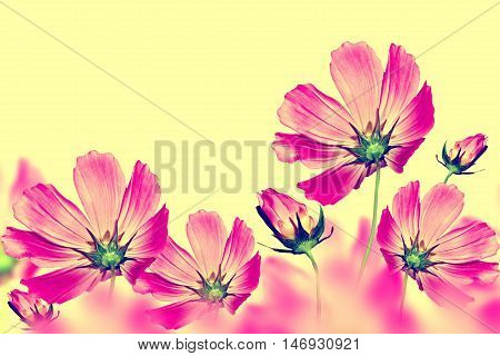 colorful bright flowers cosmos isolated on yellow background