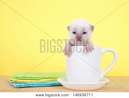 Newborn ten day old kitten sitting in a tea cup on a saucer on table paws over side of cup looking at viewer. Vibrant yellow background.