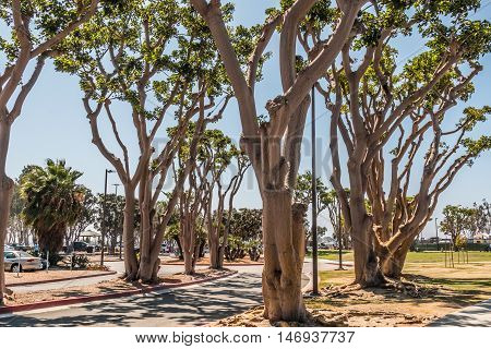 Coral trees lining a street at Embarcadero Park South in San Diego, California.