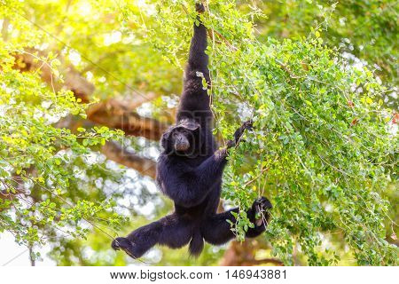 Gibbon hung from a tree to the ground at Pulau Jawa Indonesia poster