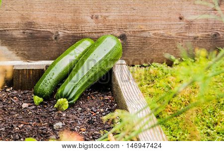 Photo of fresh green zucchini in the garden