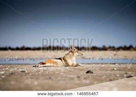 Black Back Jackal In Front Of Seal Colony.