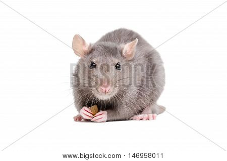 Portrait of a rat holding a piece of food in its paws isolated on white background