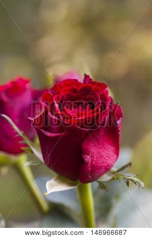 a gift of love - a red rosebud