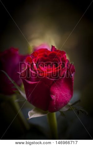 a token of love - a red rosebud