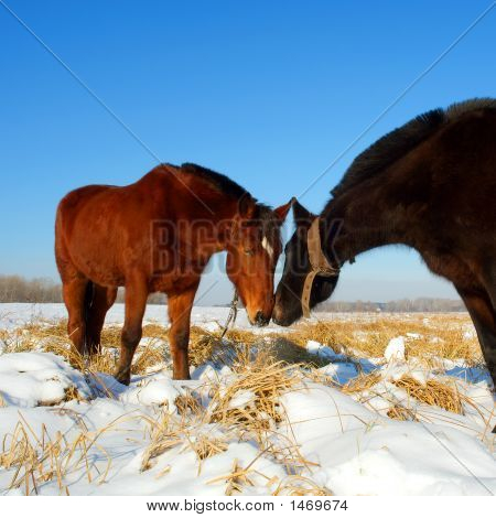 Kissing Horses On Snow Field