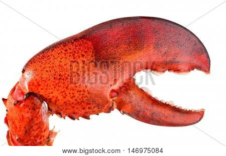 Lobster's claw on white background
