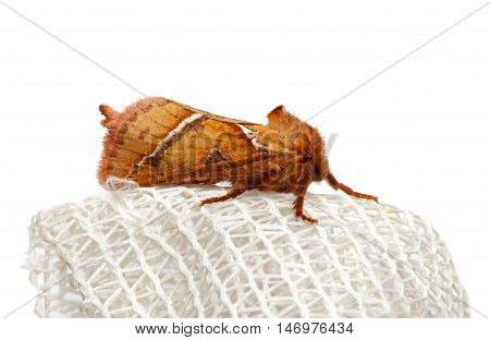 Macro of red fuzzy lepidoptera sitting on white curtain