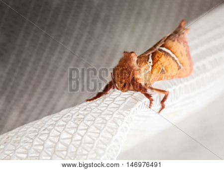 Macro of lepidoptera enface sitting on white curtain