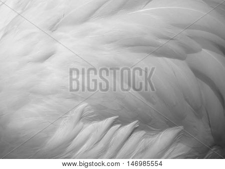 Flamingo feathers delicate white soft for background.