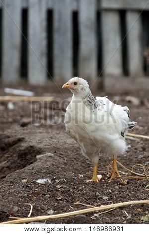Little Cornish chicken walk in the farm yard. Domestic bird