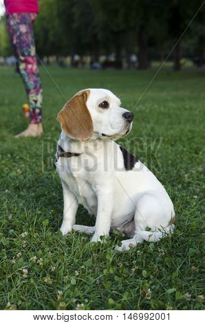 Beagle waiting for her owner in a park