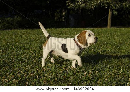 Beagle in a city park in a sunny day