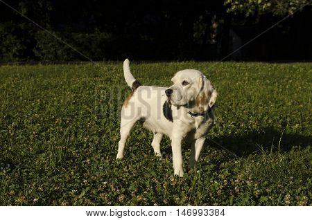 Female Beagle in a city park in Sofia