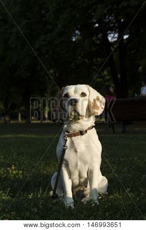 Adult female beagle sitting in a park