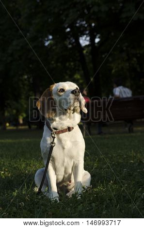 Adult beagle sitting in the grass in a city park