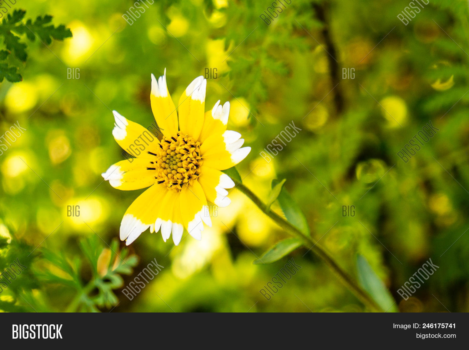 Yellow flower white image photo free trial bigstock yellow flower with white tips of petals on a green background mightylinksfo