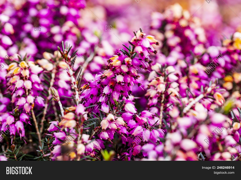 Common Heather Flower Image Photo Free Trial Bigstock
