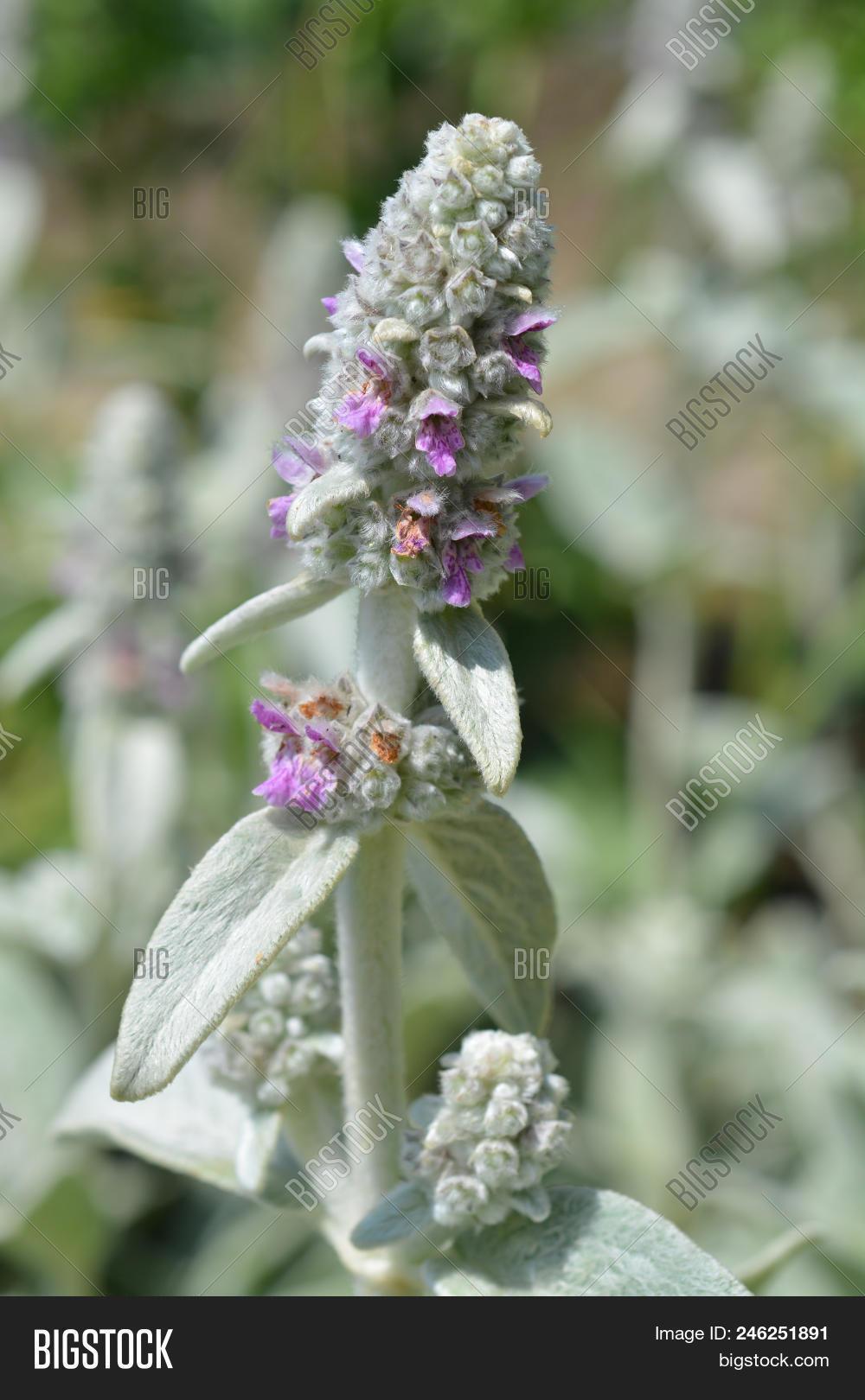 Silver Carpet Lambs Ears Flower - Latin Name - Stachys Byzantina Silver Carpet