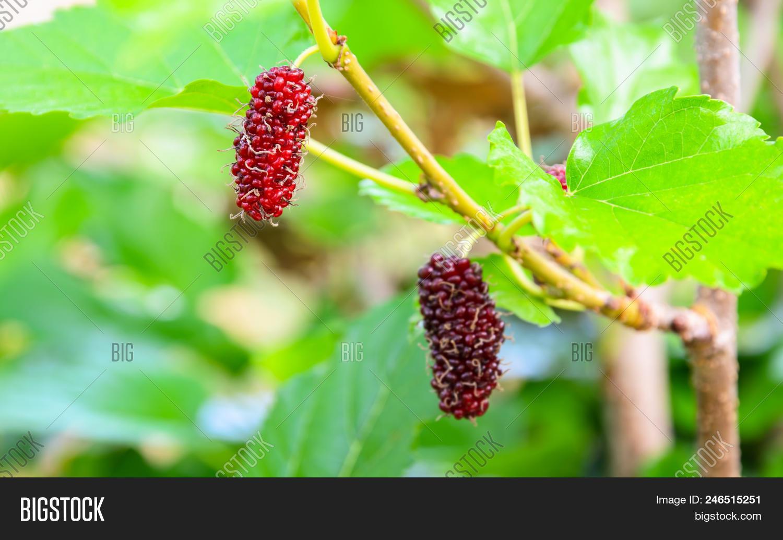 Fresh Unripe Red Image Photo Free