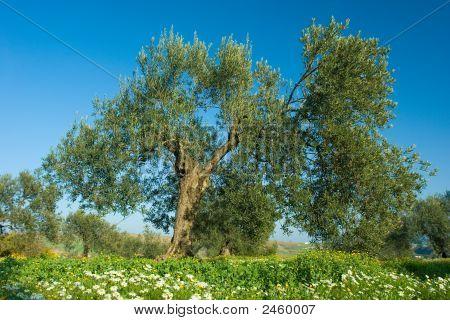 Olive Tree In Spring