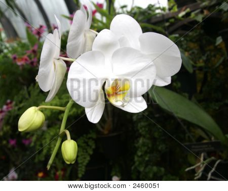 Hot House Orchid