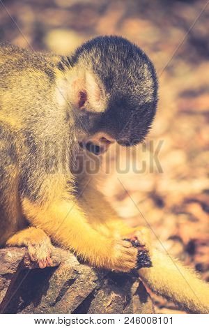 The Black-capped Squirrel Monkey Saimiri Boliviensi) Is A South American Squirrel Monkey, Found In B