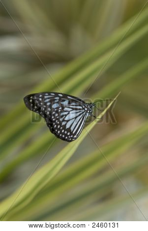 Blue glassy tiger butterfly (ideoposis vulgaris macrina). Native of Malaysia. poster