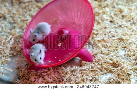 White Hamsters Doing Some Exercise On Pink Round Wheel Flying Saucer Toy.