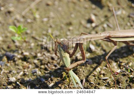a mantis eating a grasshopper