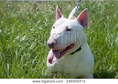 Miniature Bull Terrier Is Sitting In A Green Grass. English Bull Terrier Or The White Cavalier. Pet