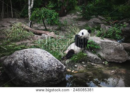 Hungry Giant Panda Bear Ailuropoda Melanoleuca Eating Bamboo Leaves Lying Near Stone On Bank Of The