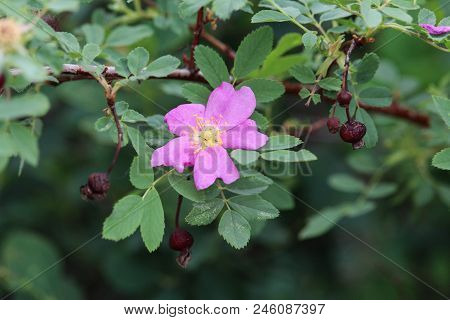 Pink Solitary Prairie Rose With Old Rose Hips