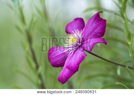 Close-up Of Big Beautiful Bright Purple Fully Blooming Flower Lit By Sun On Blurred Green Summer Bac
