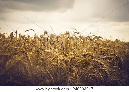 Wheat Field Background. Close Up Image Of Wheat Field. Wheat Field In Rainy Day. Wheat Field. Countr