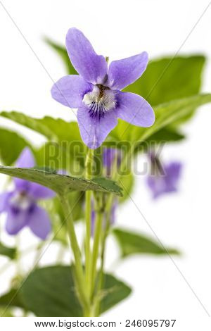 Beautiful Violet Spring Viola Flowers, Viola Reichenbachiana, Dog Violet, With Branches And Leaves I