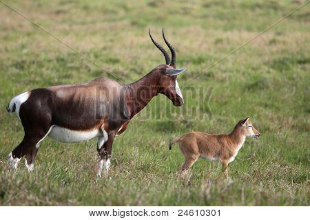 Mother And Calf Blesbok Antelope