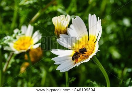 Spring White And Yellow Flower And Bee.   Bee On A Flower.  Bee On A Chamomile Flower.  Empty Beach