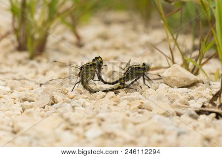 Midland Clubtails Copulating On A Trail In Wisconsin.