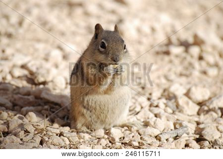 Cute Golden-mantled Ground Squirrel Eating On The Ground, Nature Wildlife