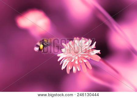 Amazing Artistic Natural Background. Bumblebee Flying Over Fantastic Pink Dandelion Flower. Macro Im
